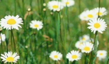 פרחים שעלולים לגרום לבעיות נשימה ואלרגיה